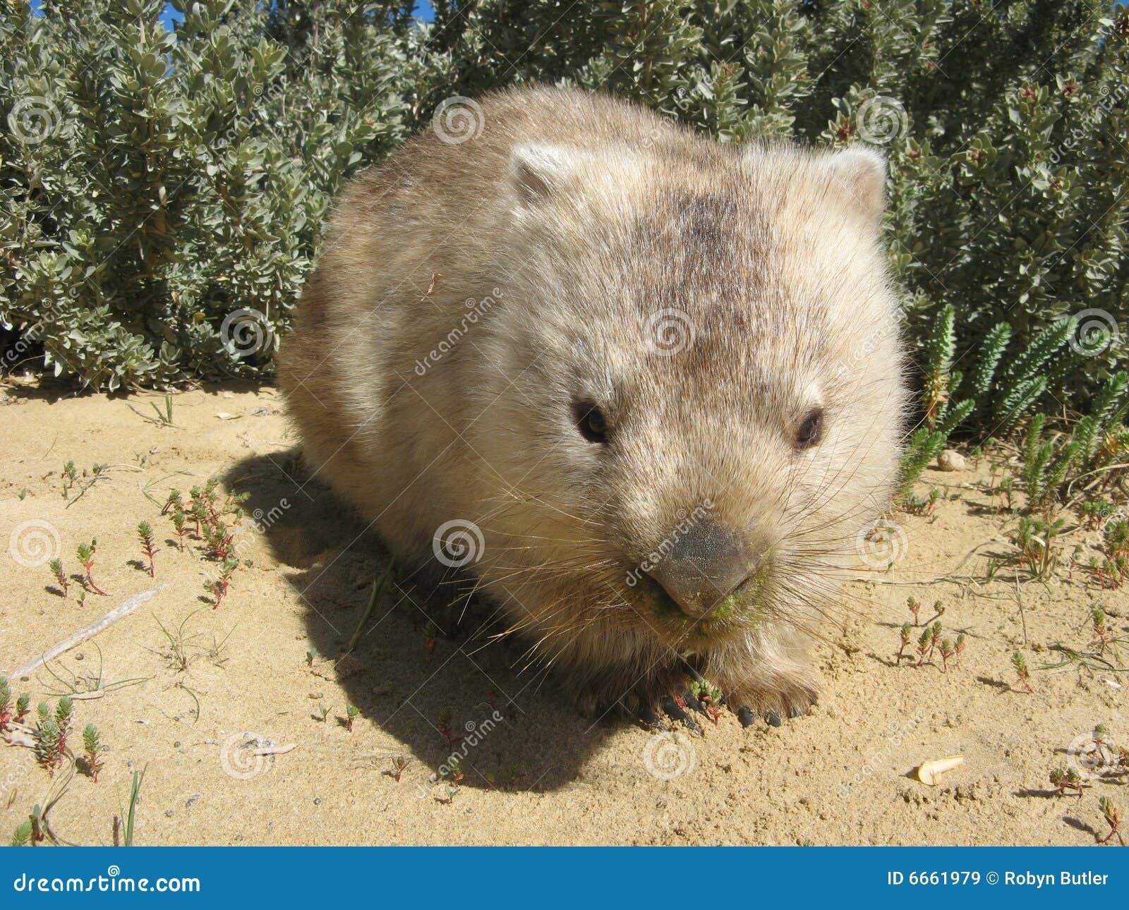 Australische Wombat
