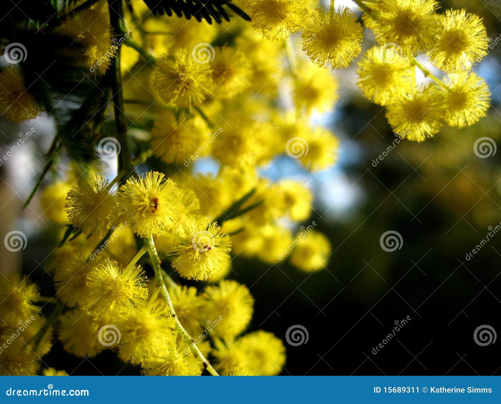 Australischer goldener Zweig