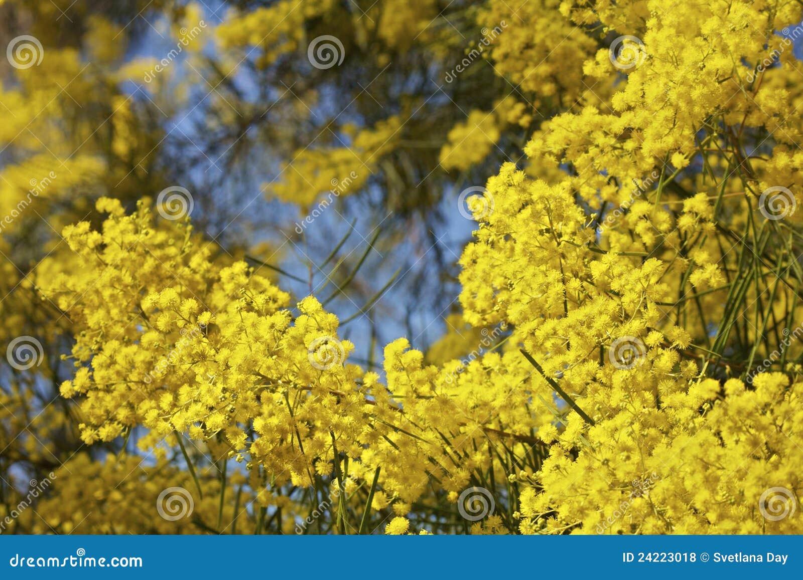 australischer mimose oder zweig baum in der bl te lizenzfreie stockfotos bild 24223018. Black Bedroom Furniture Sets. Home Design Ideas