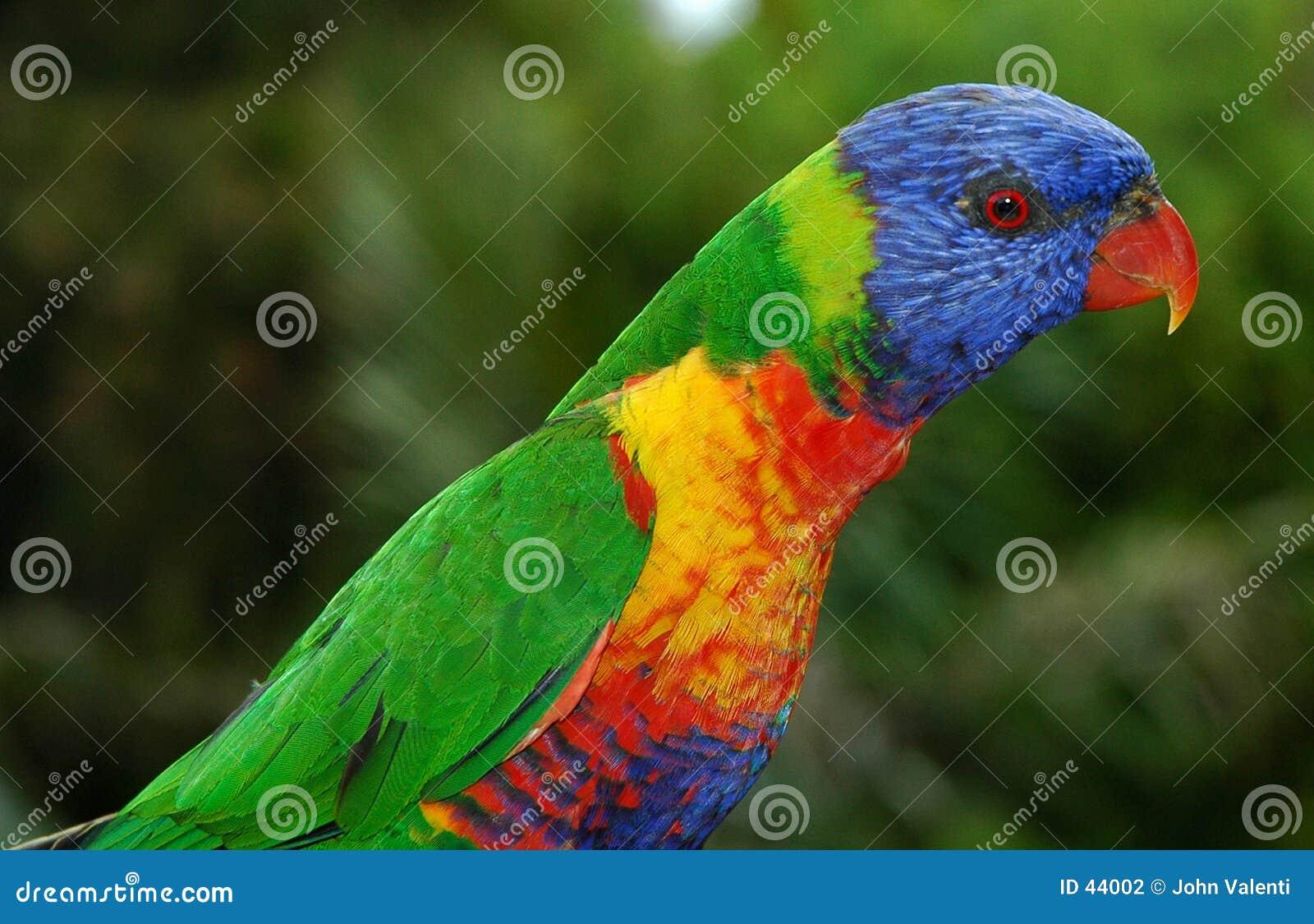 Australischer Regenbogen Lorikeet