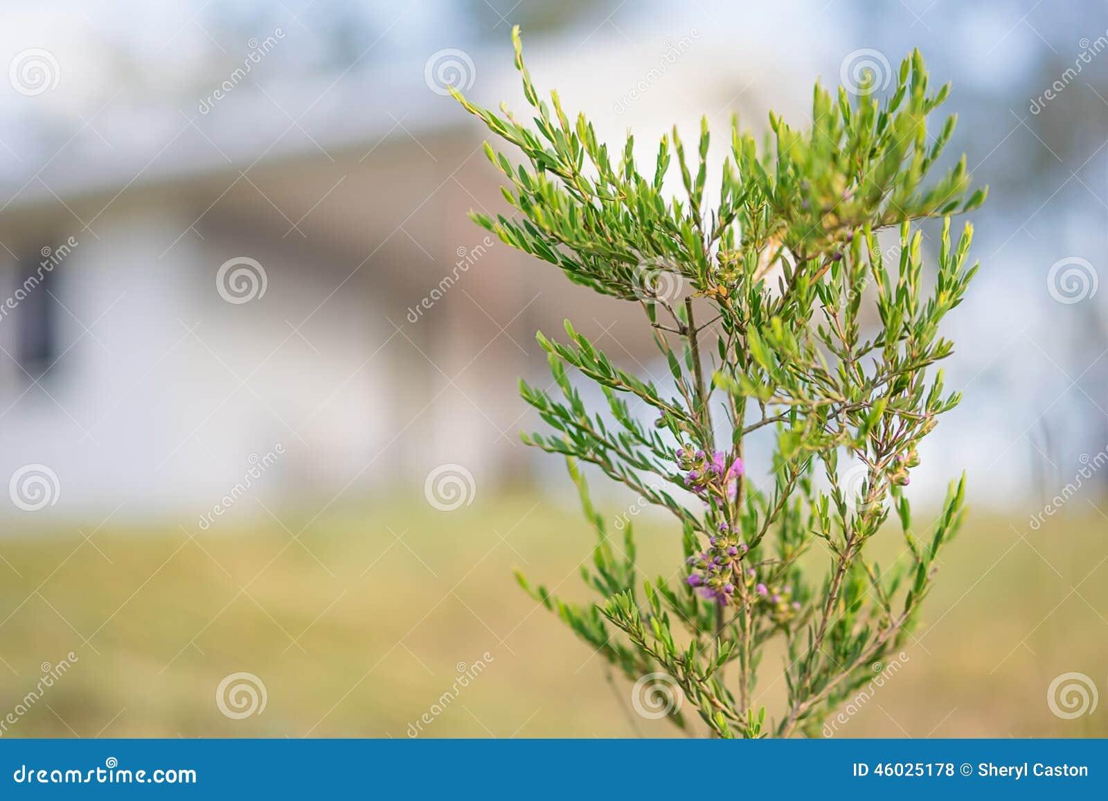australischer strauch fr hling wildflower melaleuca thymifolia. Black Bedroom Furniture Sets. Home Design Ideas