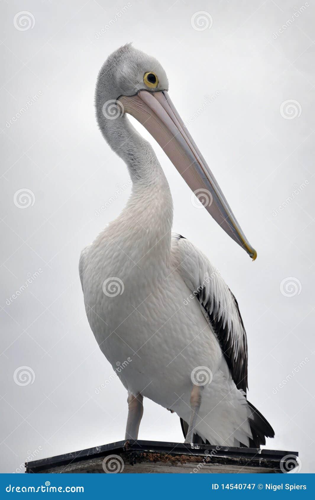 Australisches Pelikanportrait