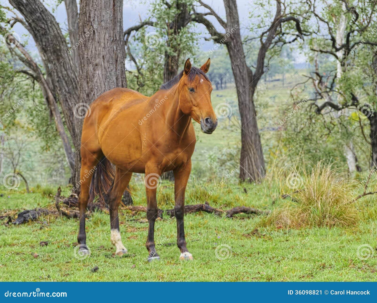 Australisches Pferd auf Lager im australischen Bushland