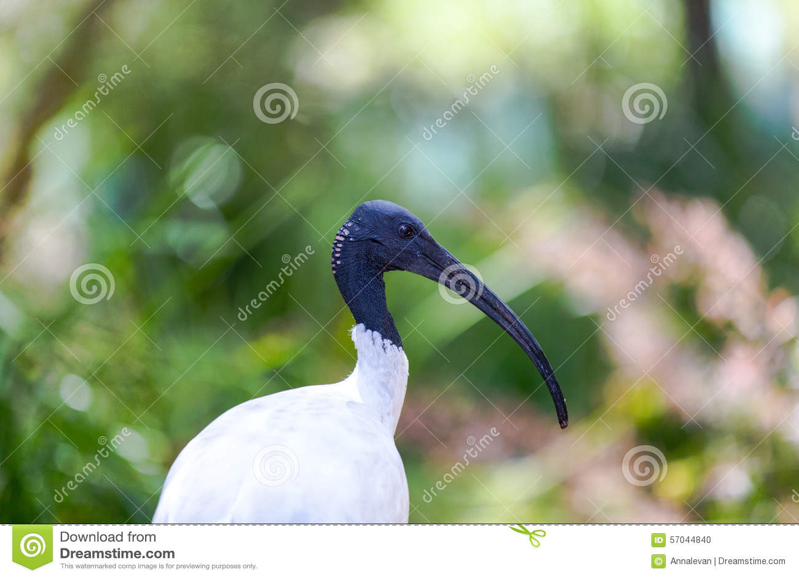 Australisk vit ibis mot vegetation