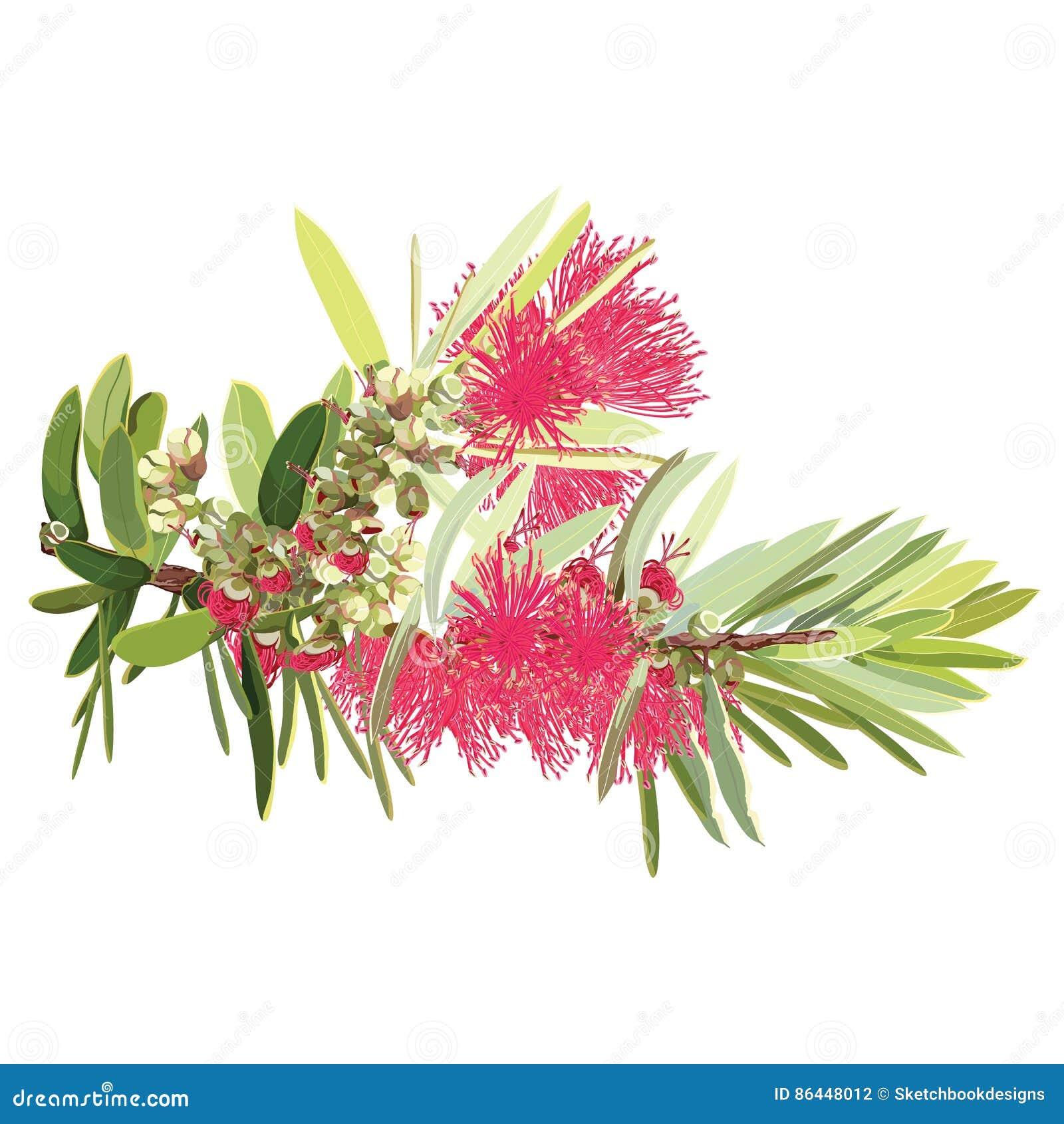 Australiskt rött blomningBottlebrushträd
