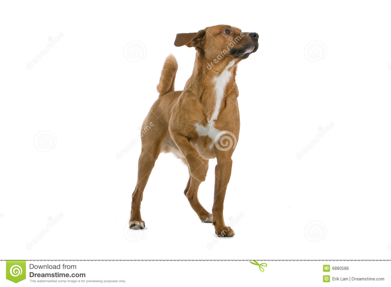 Austrian Pinscher dog