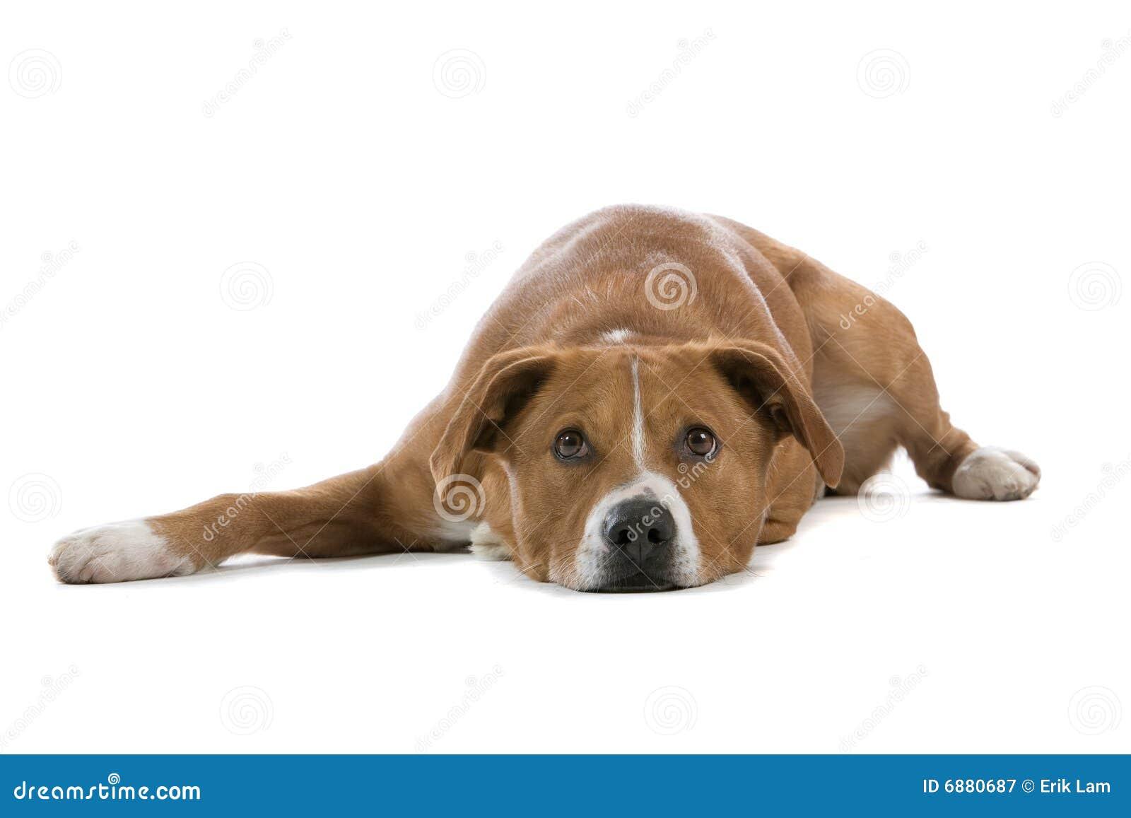 Austrian Pinscher Austrian pinscher dog