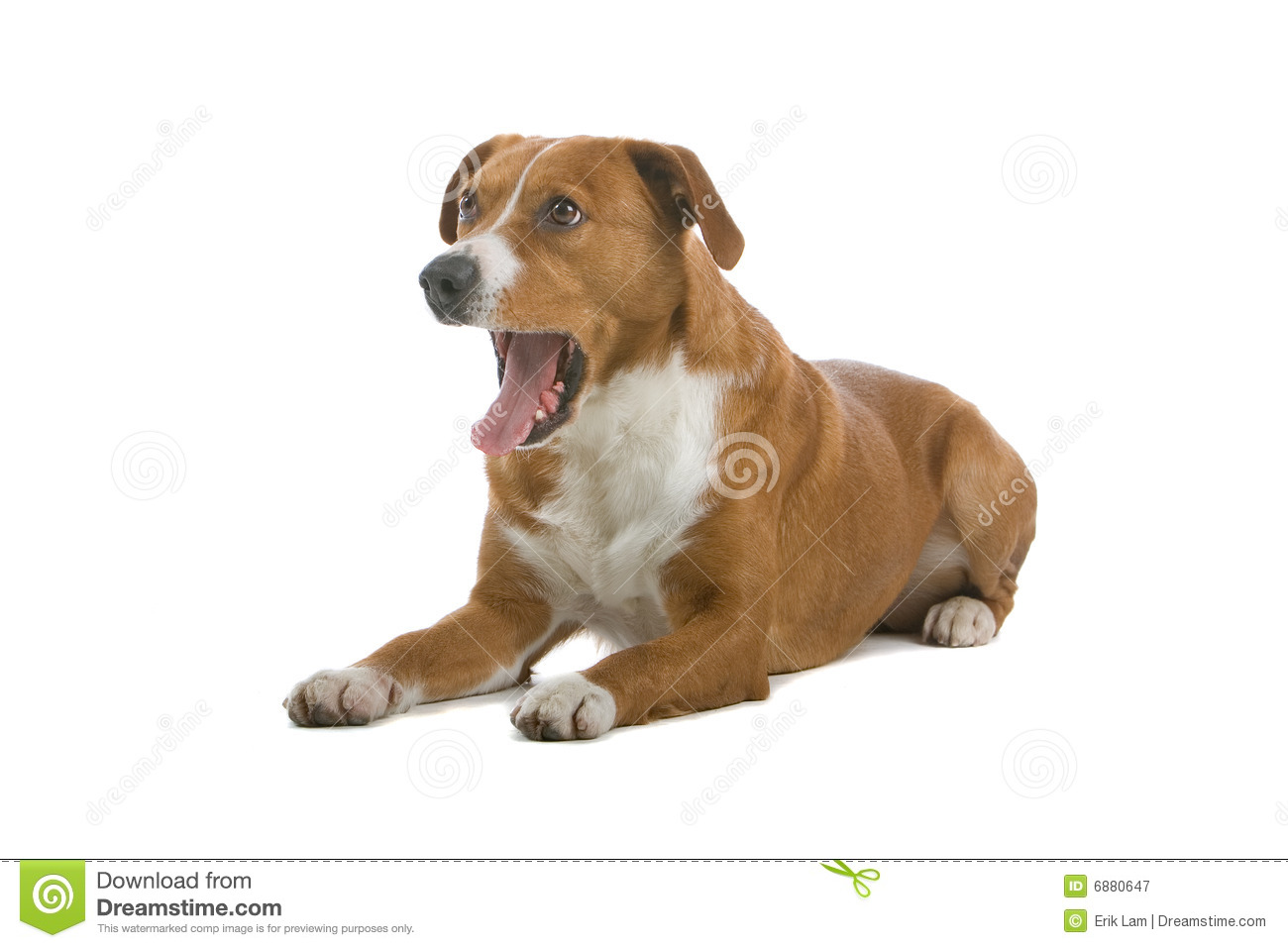 Austrian Shorthaired Pinscher Royalty Free Stock Photography - Image ...