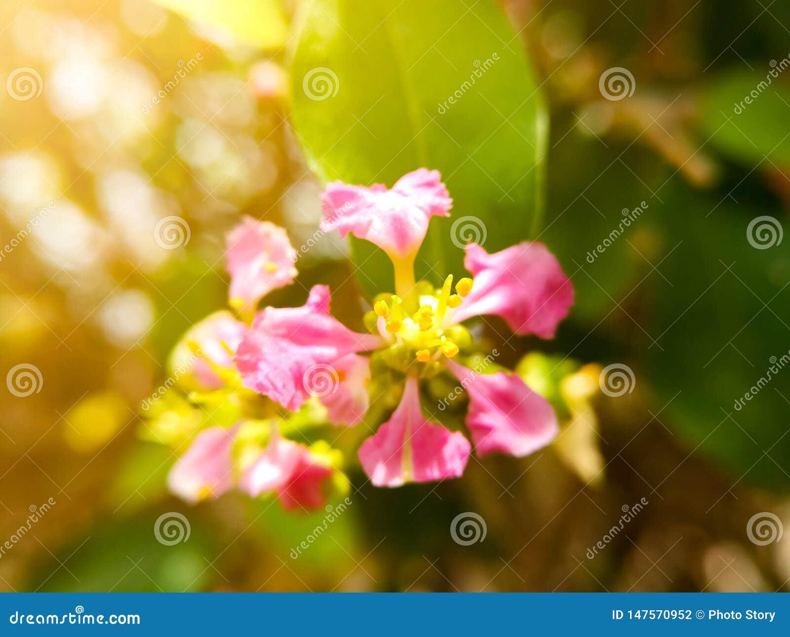 Auswahlweichzeichnung auf dem gelben Blütenstaub von schönen rosa Blumen Rosa Blumen mit bokeh Natur-Lichthintergrund