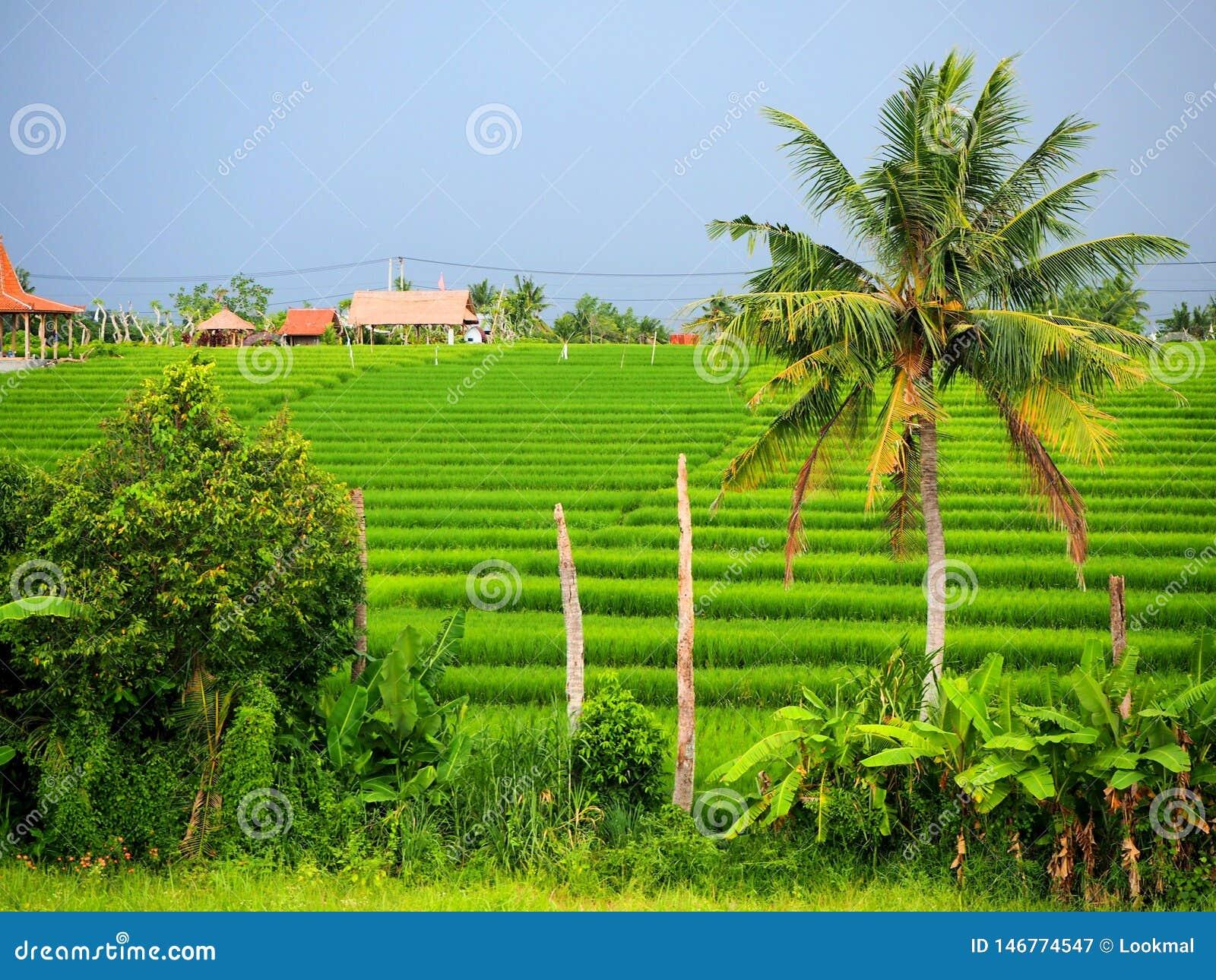 Autentisk gr?n risf?lt i Canggu i Bali p? en mulen dag