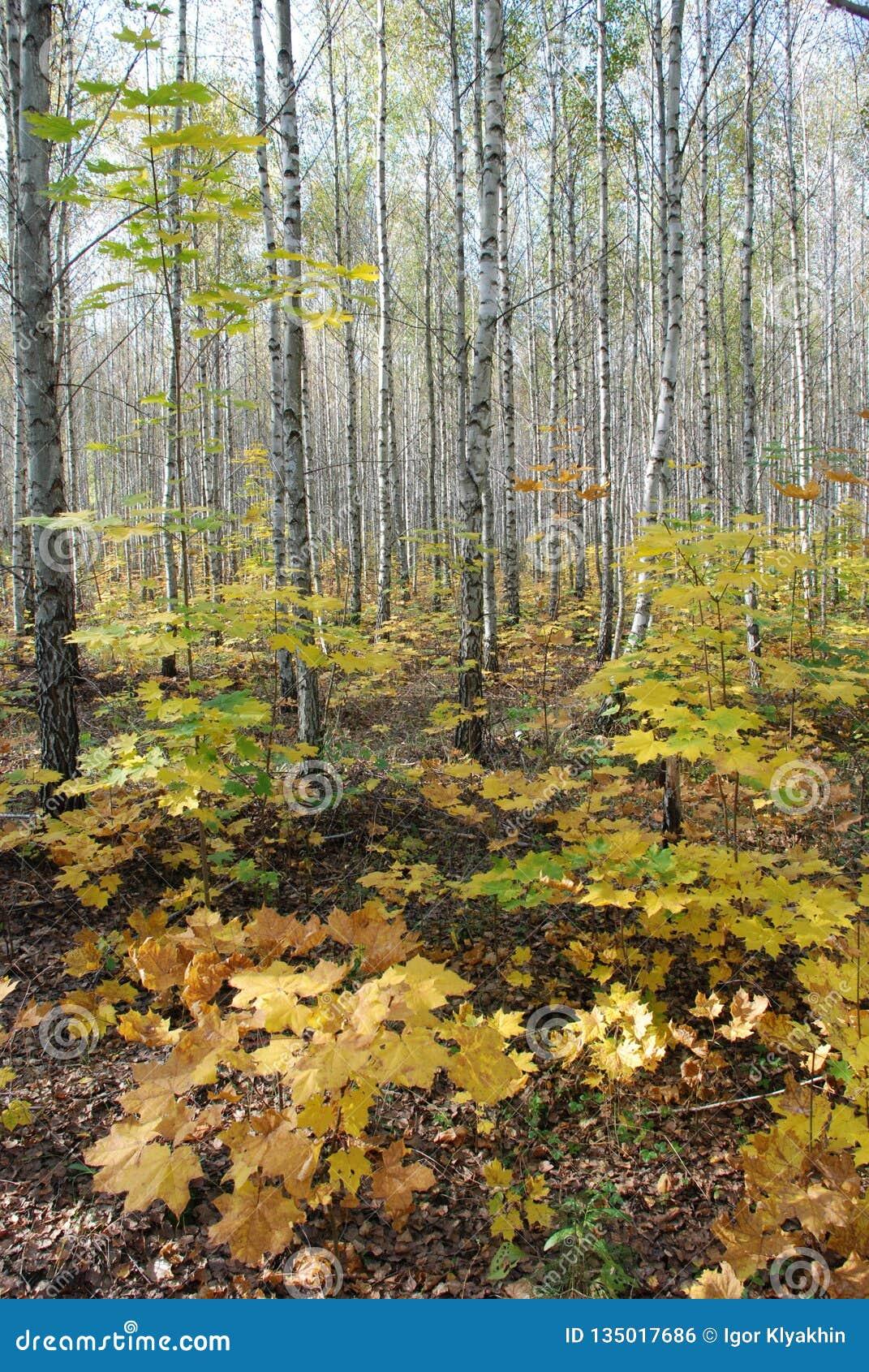 Automne dans la forêt de bouleau, beau paysage