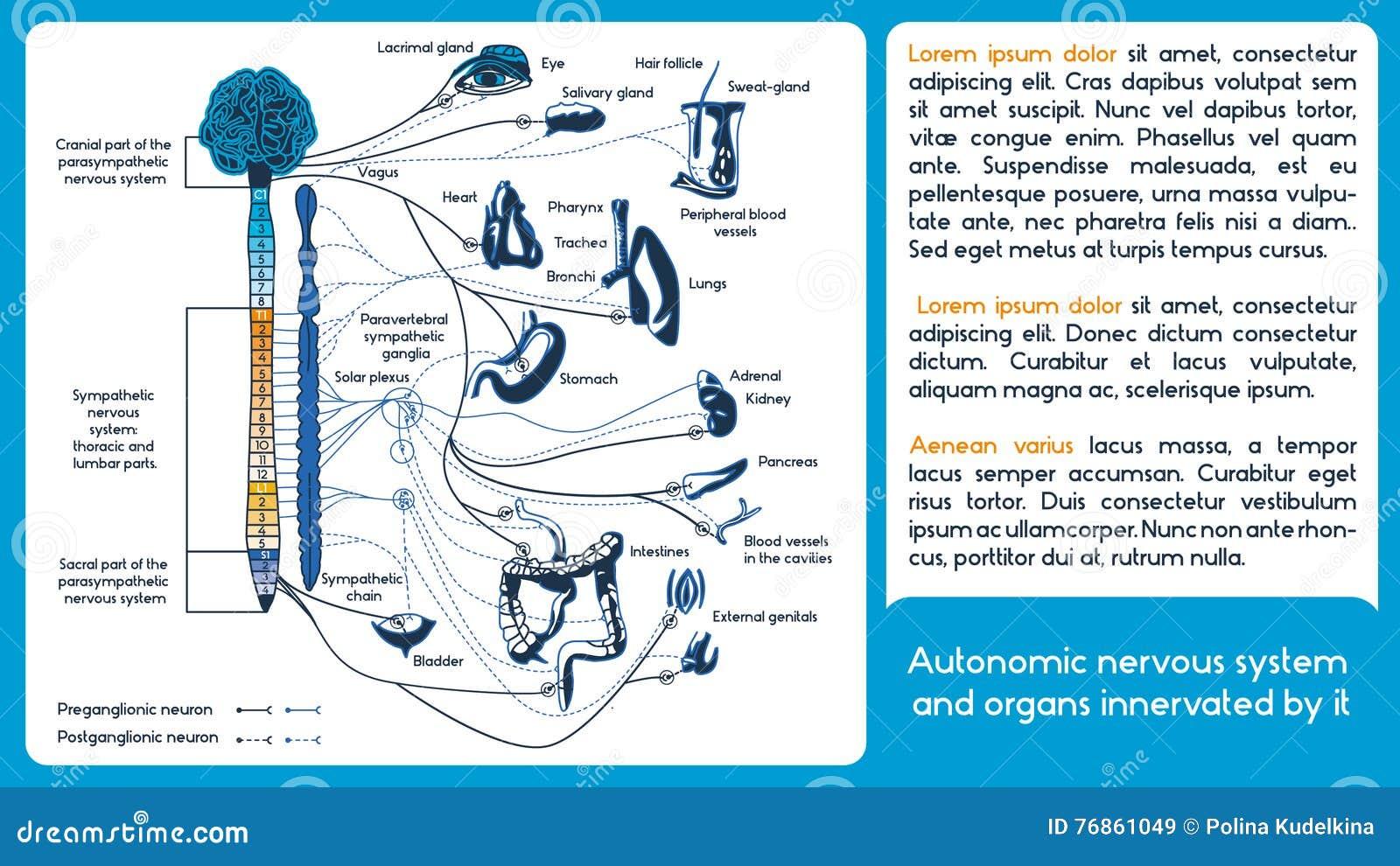 Autonomes Nervensystem vektor abbildung. Illustration von medulla ...
