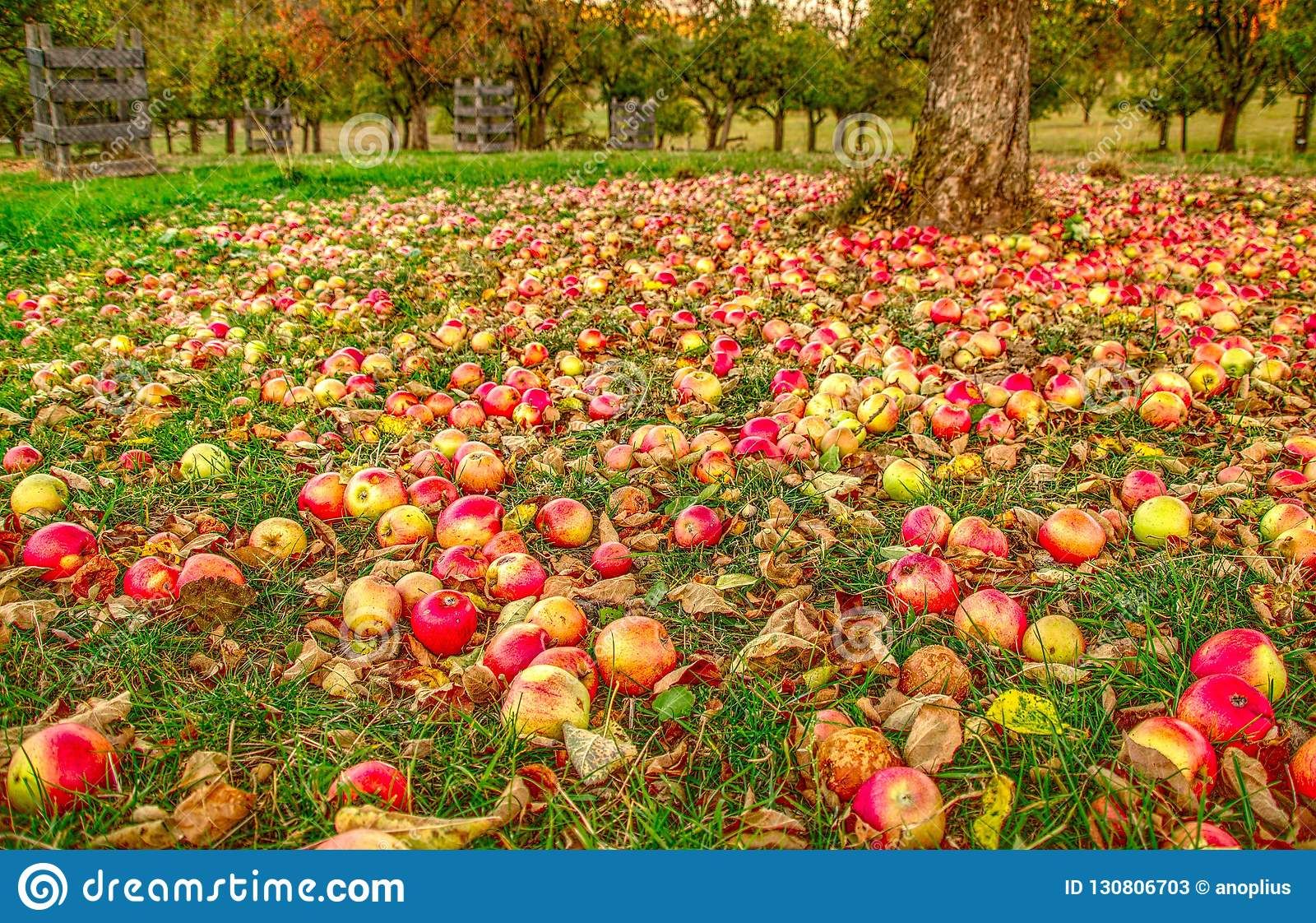 Autumn in the apple garden