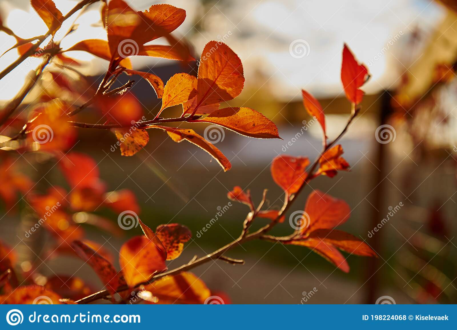 Autumn Background Orange And Red Autumn Leaves On A Tree Branch In The Sun Stock Photo Image Of Landscape Colour 198224068