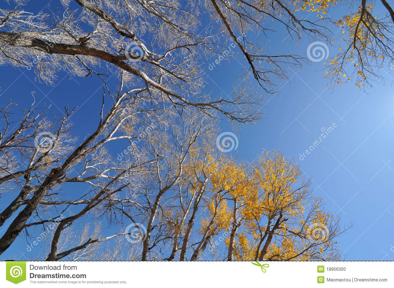 Golden leaves fighting against pure blue sky location golden colorado