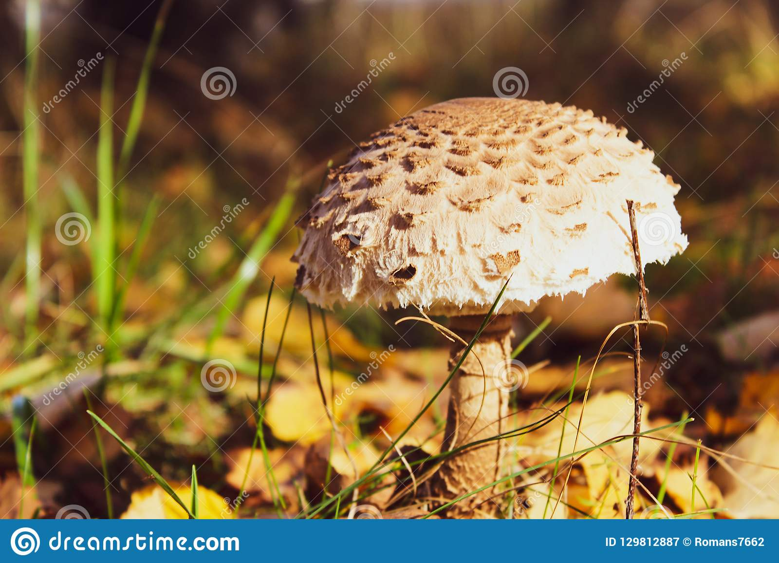 Autumn beautiful forest edible mushroom