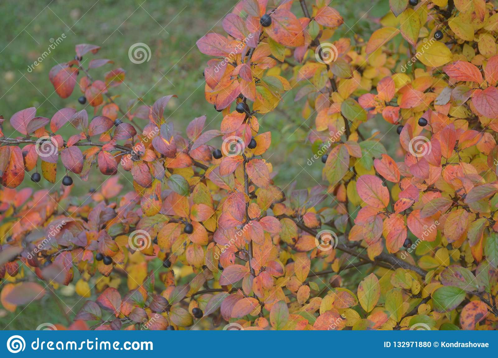Autumn berries and leaves on the branches of a Bush