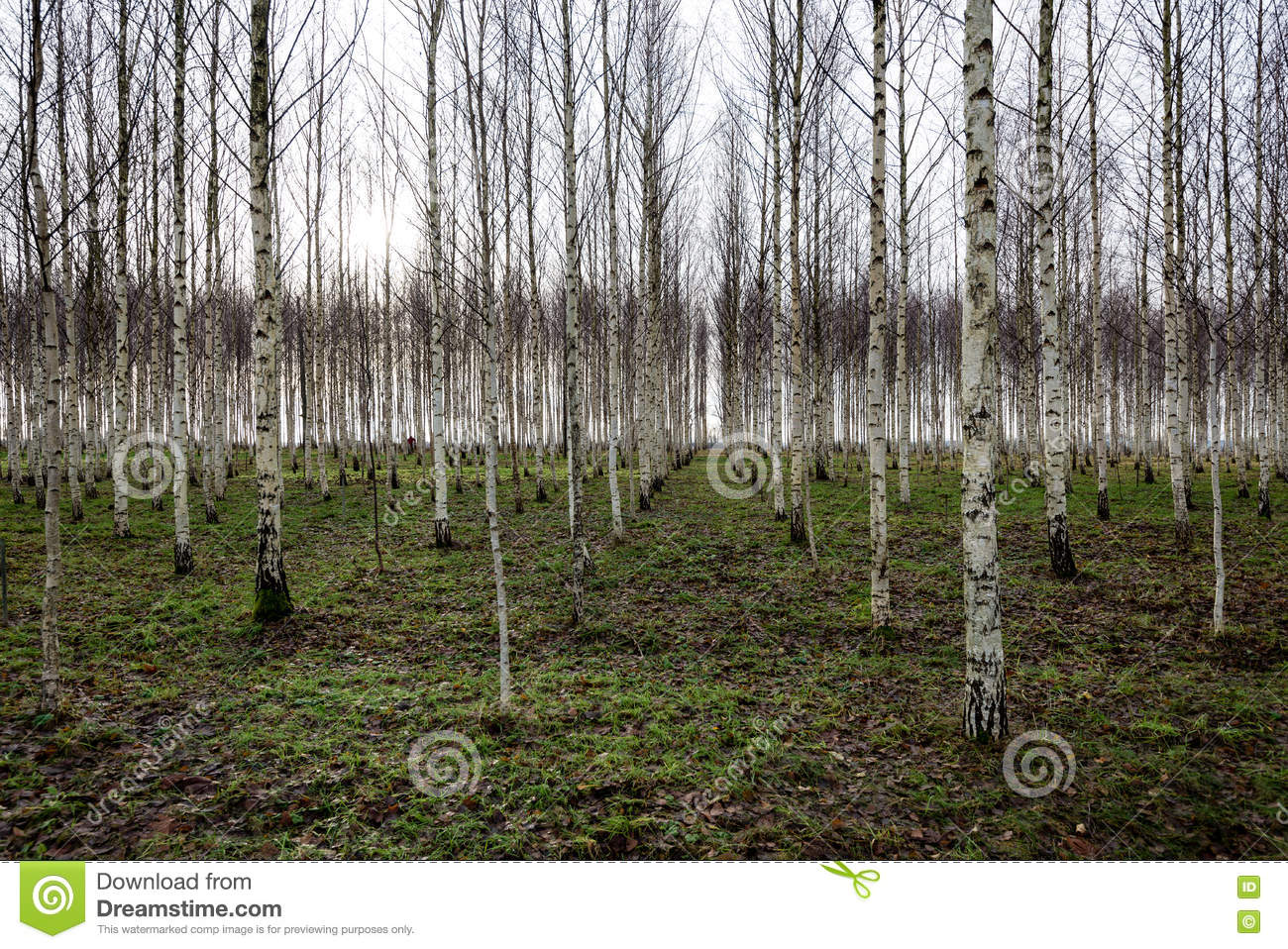 Naked Birch Tree In Red Sunlight Stock Photo - Image of
