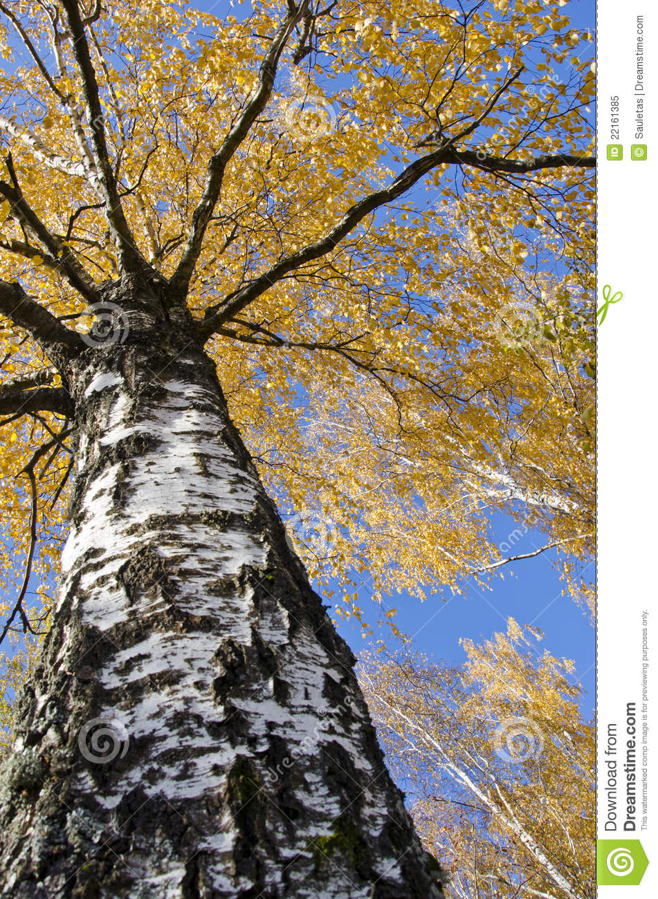 Download Autumn Birch Trunk Branches And Colored Leaves. Stock Image - Image of golden, landscape: 22161385