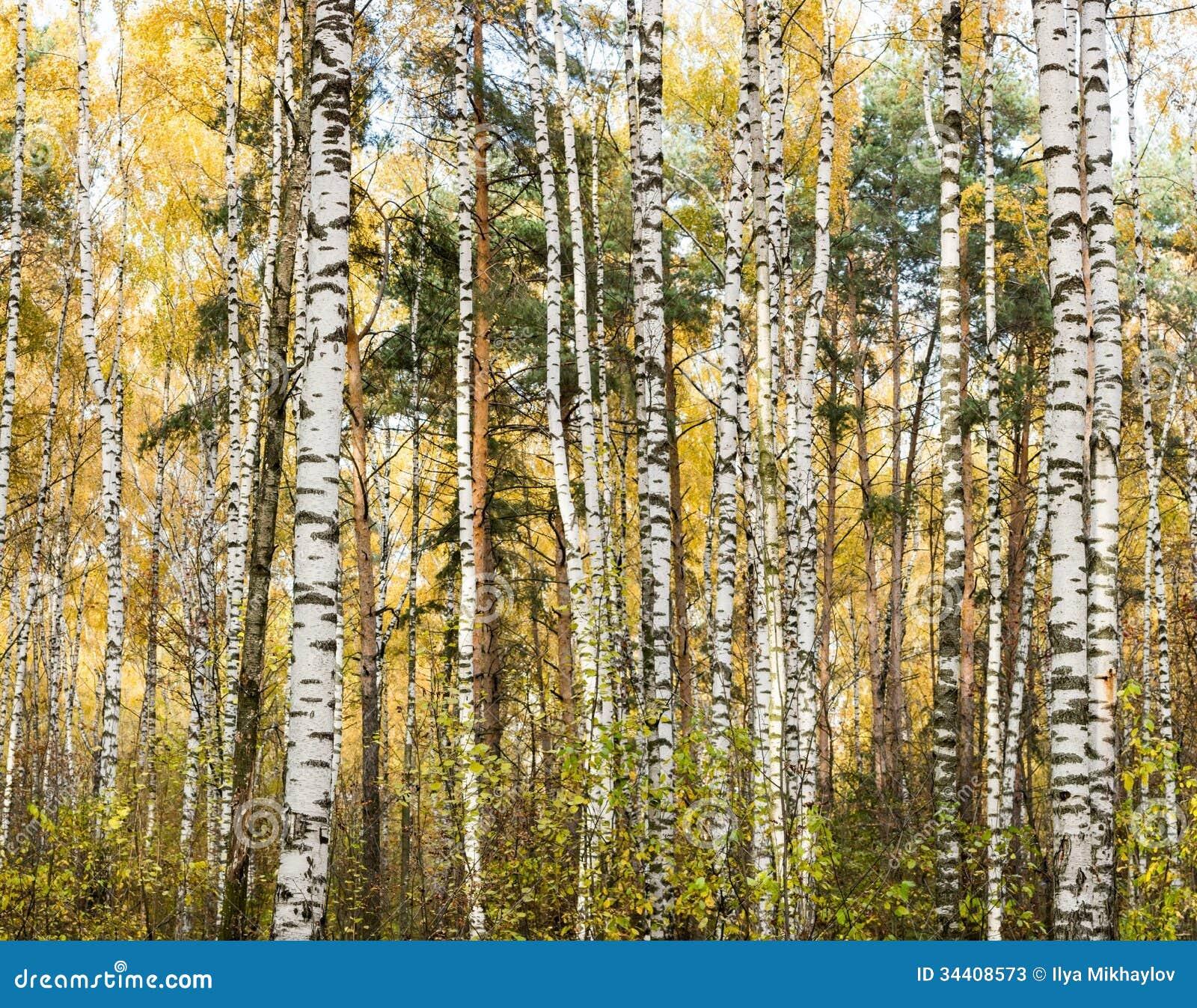 Autumn birch wood stock photos image