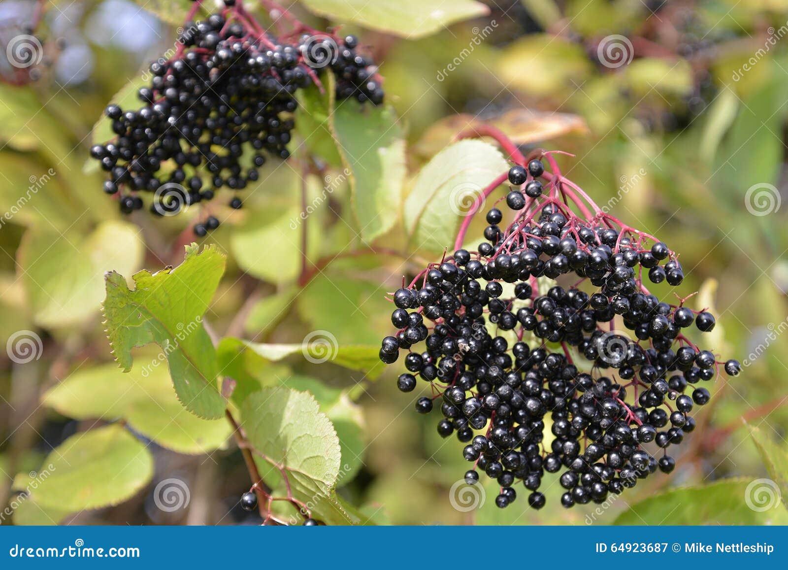 Autumn bunch of ripe elderberry fruit