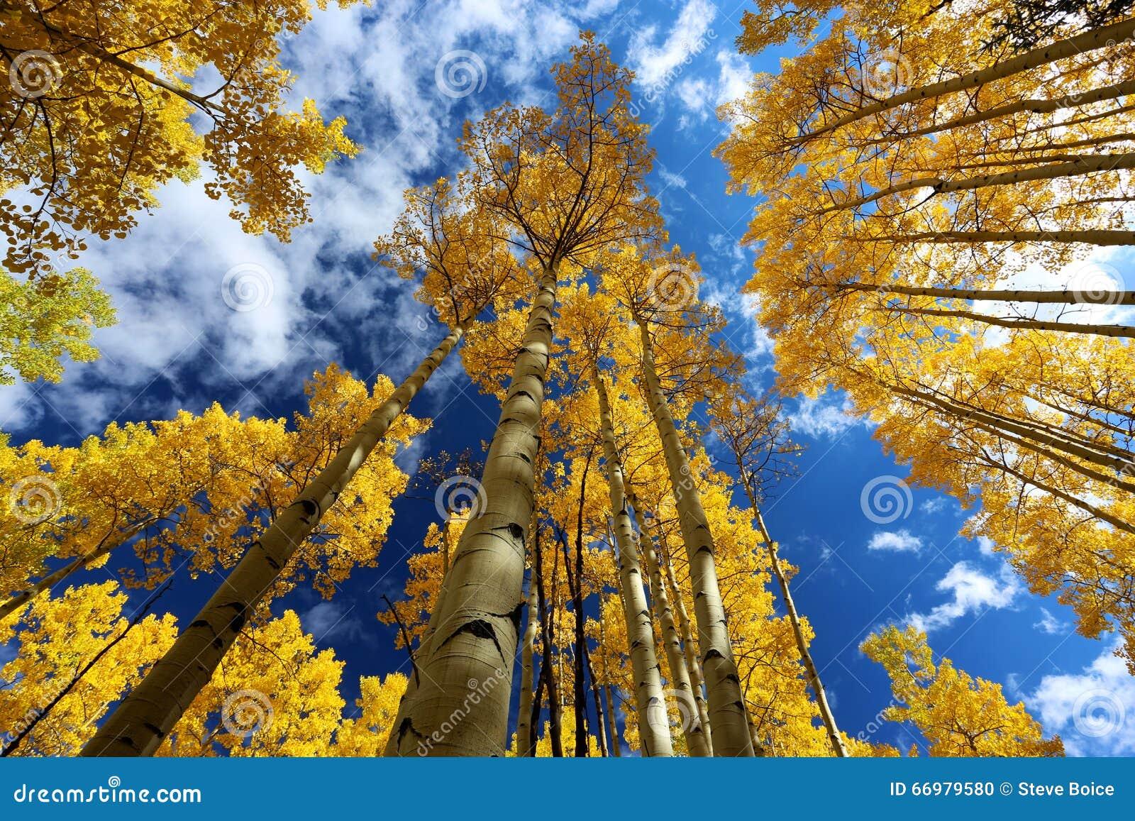Autumn Canopy de Aspen Tree Leafs amarillo brillante en caída en Rocky Mountains de Colorado