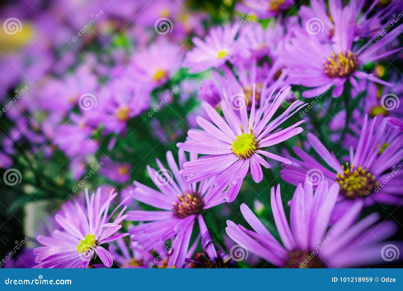 autumn chrysanthemum flowers stock image - image of blooming, lilac