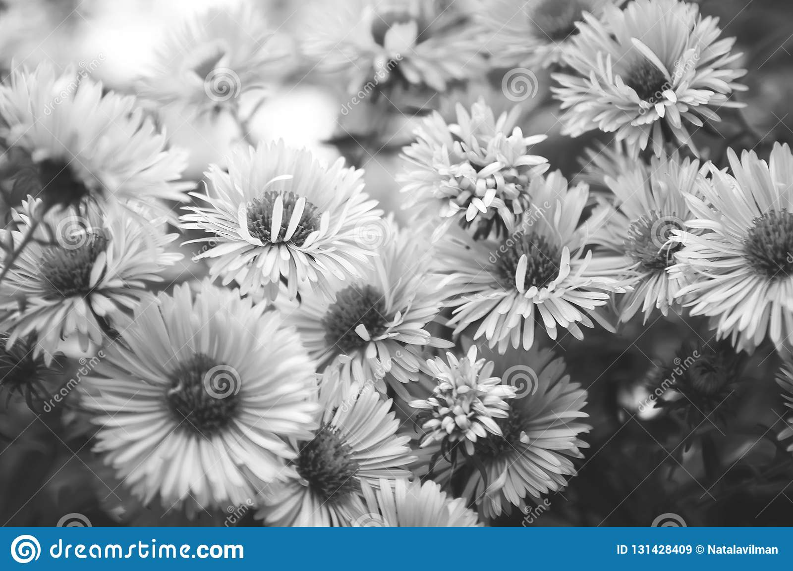 Autumn Chrysanthemums Black And White Photography Beautiful Wallpaper For Your Desktop Or Smartphone Stock Image Image Of Chrysanthemums Detail 131428409