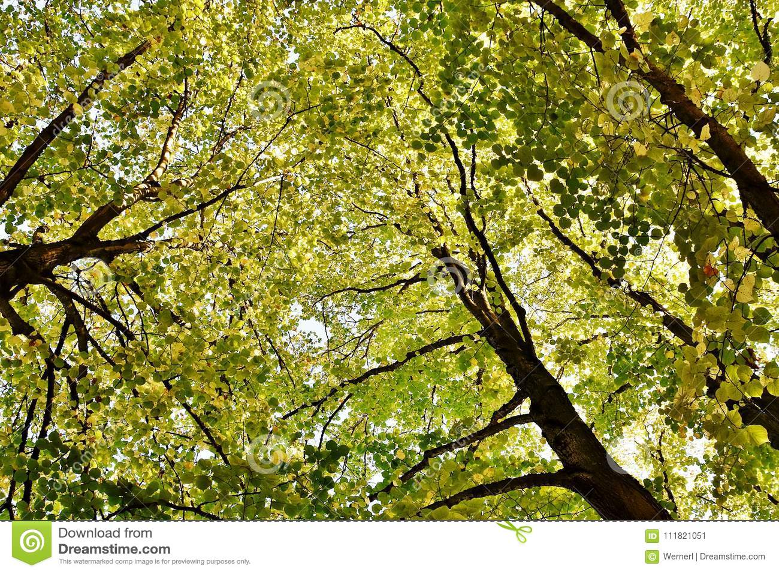 Autumn colored beech trees stock image. Image of orange - 111821051