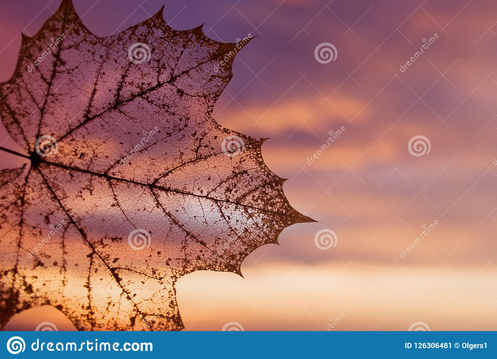 2 496 Maple Leaf Transparent Background Photos Free Royalty Free Stock Photos From Dreamstime