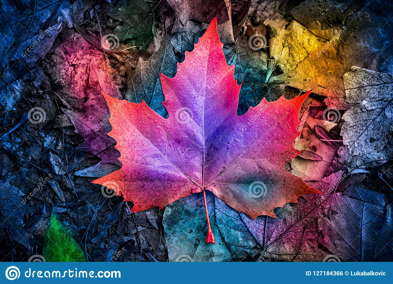 Autumn Colorful Maple Leaf On The Ground Stock Photo ...
