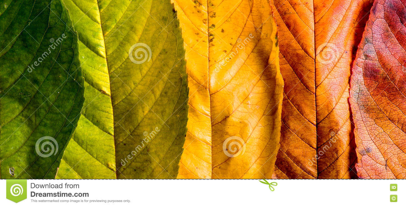 Download Autumn Composition, Colorful Leaves In A Row. Studio Shot. Stock Photo - Image of idea, closeup: 76799578