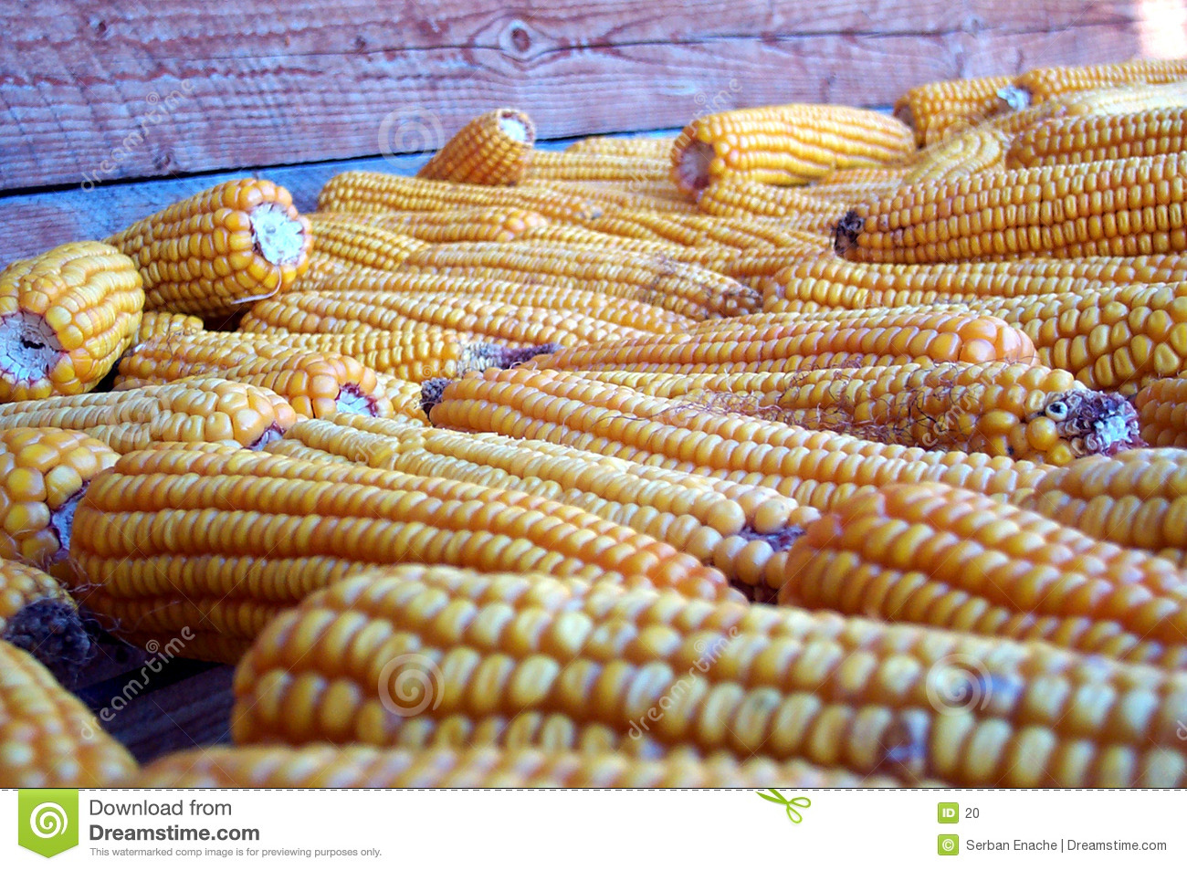 Autumn crop - corn