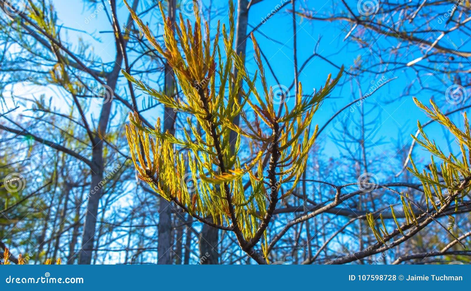 autumn cypress leaf