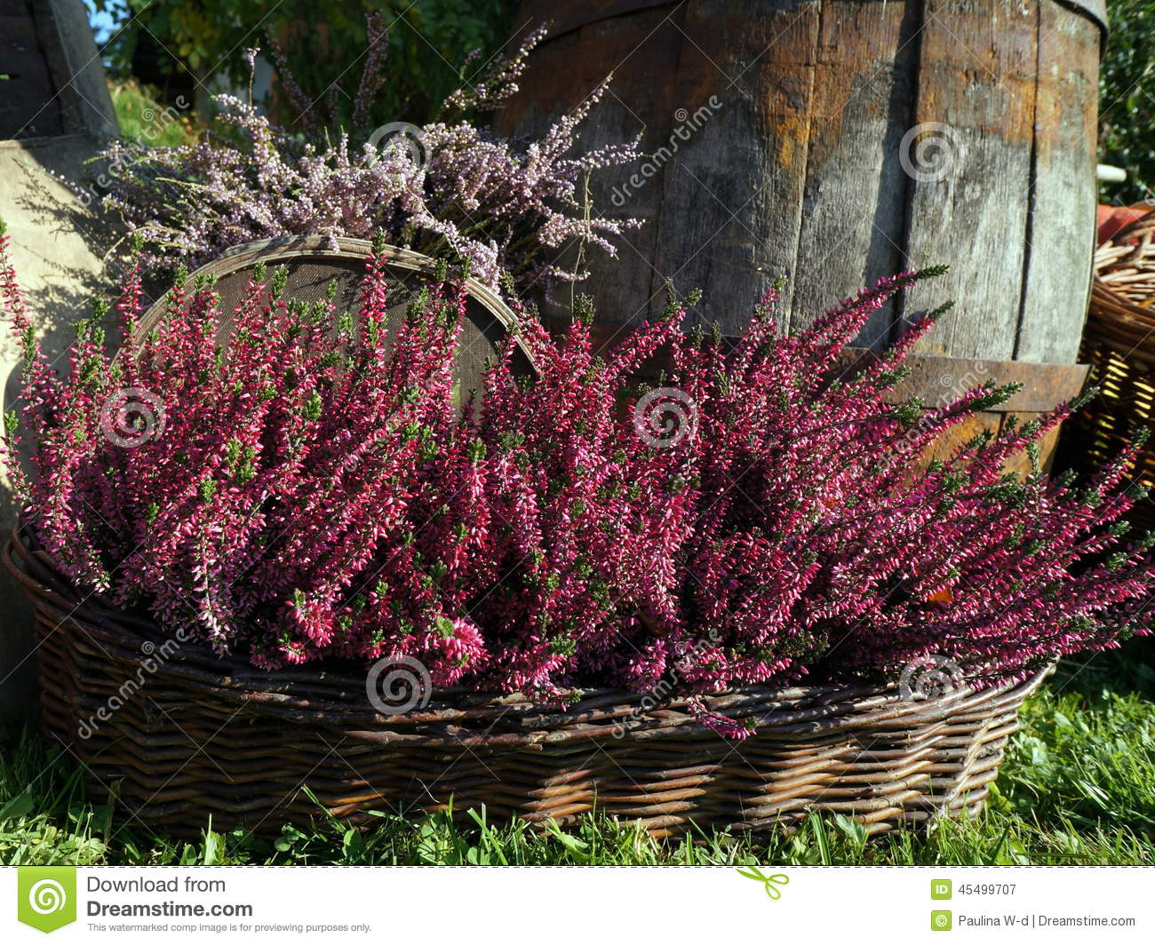 Autumn decoration of purple heather, ling flowers