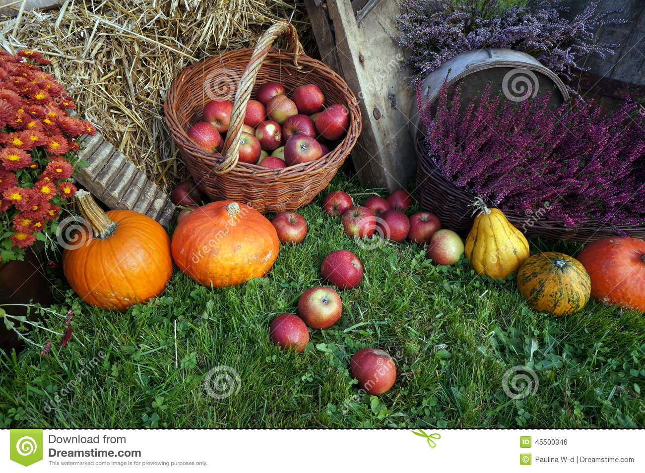 Autumn decoration, red and green apples in a wicker basket on straw, pumpkins, squash, heather flowers and chrysanthemum flowers