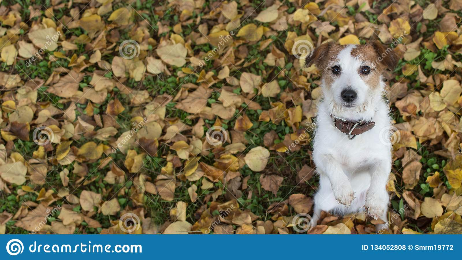 AUTUMN DOG BANNER BACKGROUNDS. CUTE JACK RUSSELL DOG SITTING ON TWO LEGS BEGGING FOOD ON YELLOW FALL LEAVES
