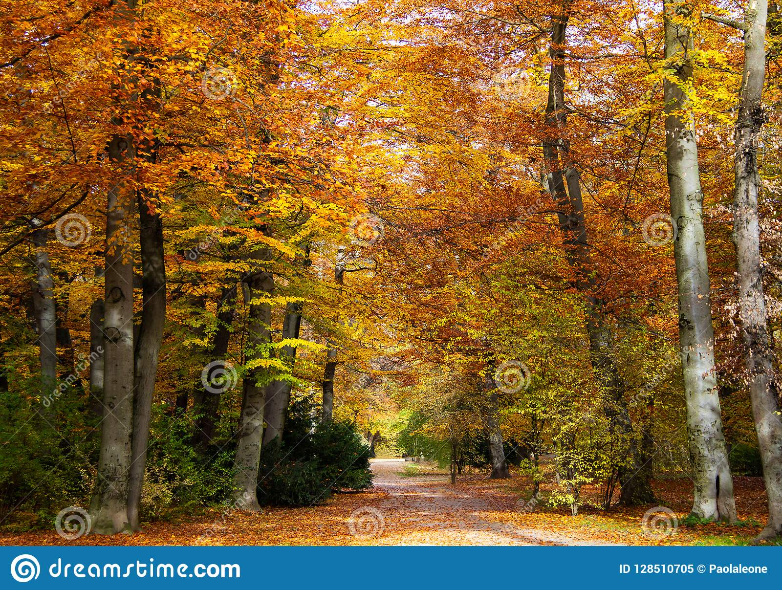 Autumn, Fall. Beautiful Gold colored Foliage Trees in a Park, with little road
