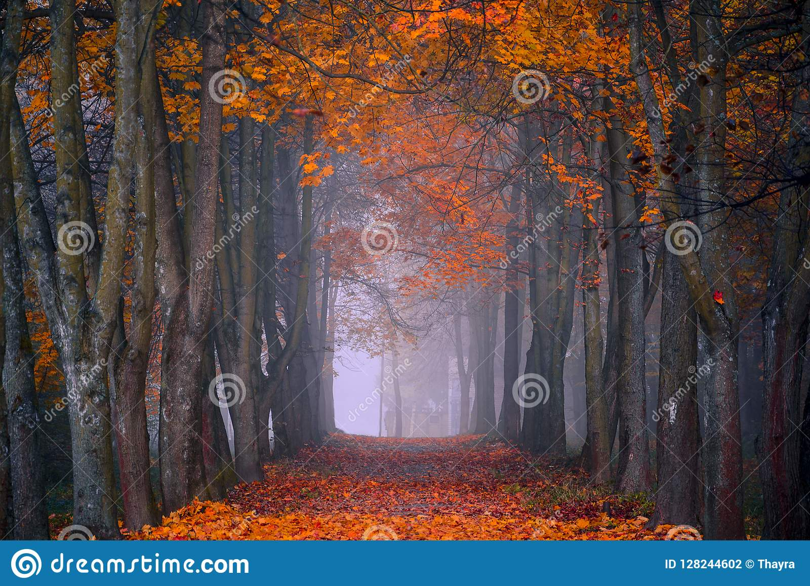 Autumn fall. Foggy morning in the maple forest. Vibrant colors