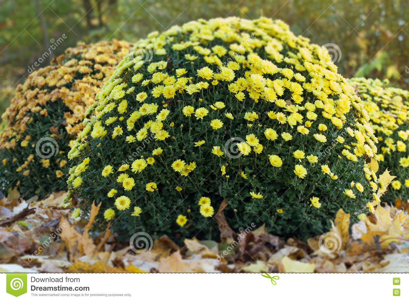 Autumn flowerbed in the park yellow chrysanthemum flowers still download autumn flowerbed in the park yellow chrysanthemum flowers still life fall time scene mightylinksfo