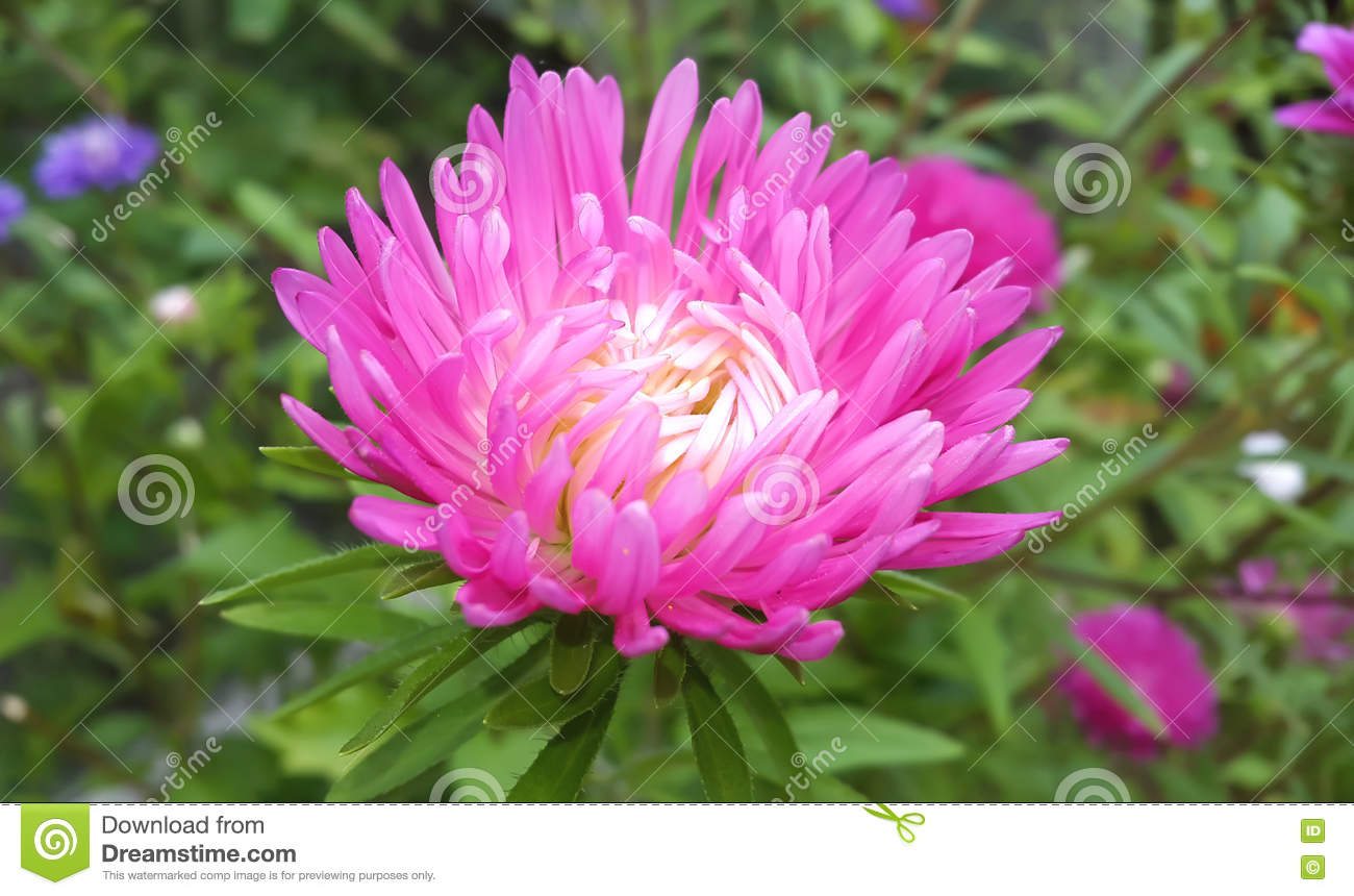 Autumn Flowers Pink Astra Stock Photo Image Of Astra Blooming
