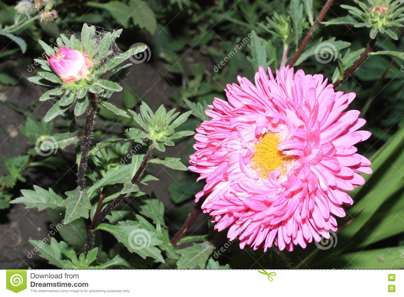 Autumn Flowers Pink Astra Stock Image Image Of Flower Closeup