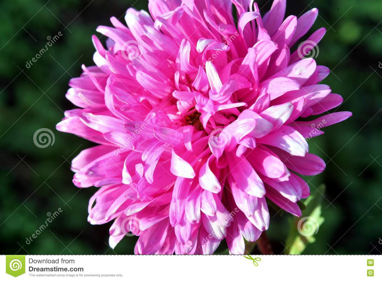 Autumn Flowers Pink Astra Stock Photo Image Of Aster Flora