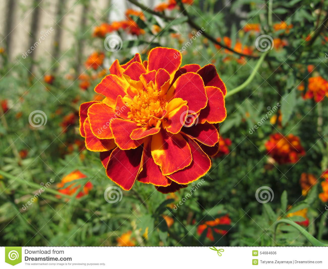 Autumn Flowers Stock Photo Image Of Area Bright Beautiful 54684606