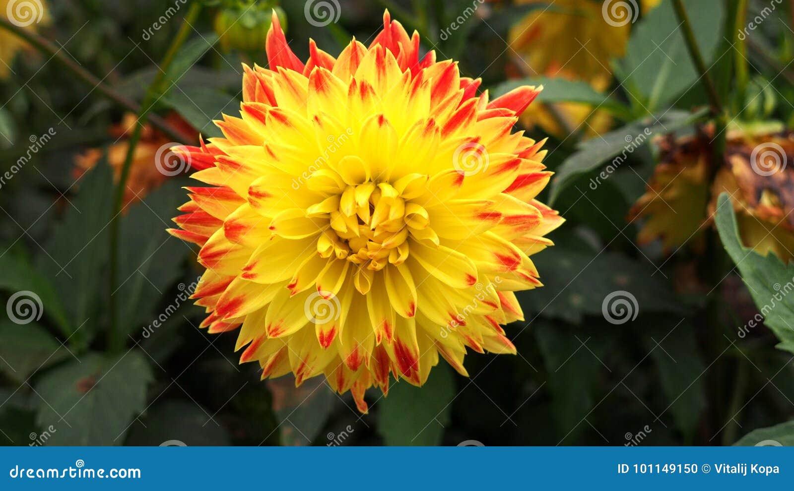 Autumn flowers sun aster