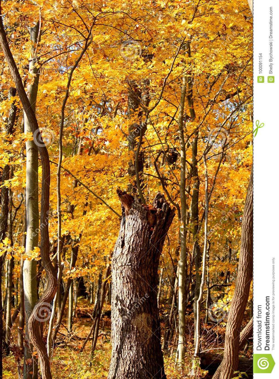 Autumn In An Indiana Forest With Tree Trunk In Paths Center  Stock