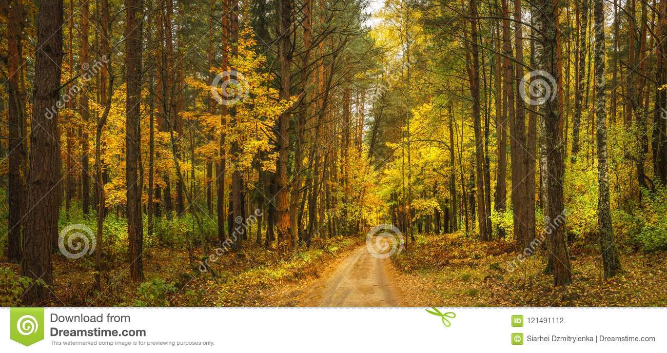 Autumn forest landscape. Amazing vibrant panoramic view on yellow forest in october. Fall