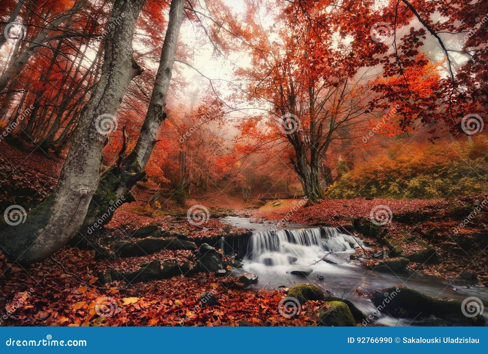 Autumn Forest Landscape With Beautiful Creek y pequeño puente Hojas encantadas del rojo de Autumn Foggy Beech Forest With y cala