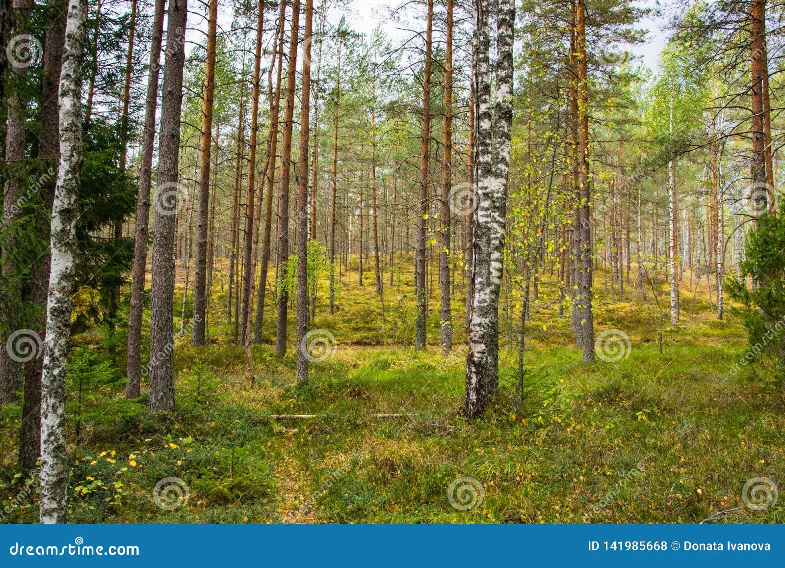 Autumn Forest Nature A manhã vívida na floresta colorida com sol irradia através dos ramos das árvores