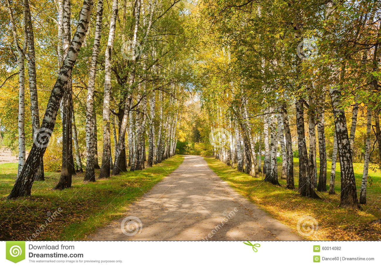 path in the birch - photo #28